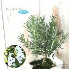 ローズマリー白花10.5cmポット立性ハーブ苗ガーデニング