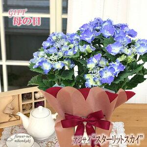 まだまだ間に合う母の日 ギフト アジサイ スターリットスカイ 母の日 贈り物 プレゼント あじさい 紫陽花 花 鉢植え 5号鉢 送料無料