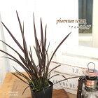 コルジリネフォルミウムレッド10.5cmポット観葉植物インテリアおしゃれ