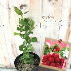 ラズベリーレッドドリーム5号ポットラズベリー苗苗木庭木果実果樹苗
