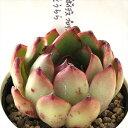 多肉植物 yukエケベリア アガボイデスプロリフェラ×花うらら 多肉植物 優木園さんの苗 エケベリア 6cmポット