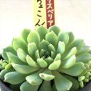 多肉植物 oriミックスベリア No.008 ちょこん 多肉植物 おらいさん苗エケベリア 6cmポット