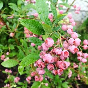 ハイブリッドブルーベリー ピンクレモネード 果樹苗 苗木 苗 ブルーベリー苗 庭木 果実 5号鉢