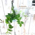 エスキナンサステレッサ観葉植物3号吊り鉢インテリアおしゃれ