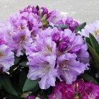 シャクナゲ舞娘5号鉢開花予定株蕾付き西洋シャクナゲ石楠花tse