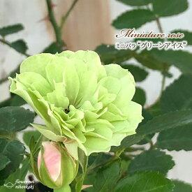 予約販売 ミニバラ グリーンアイス 3号ポット バラ 薔薇 バラ苗 苗 bry 10月下旬以降発送