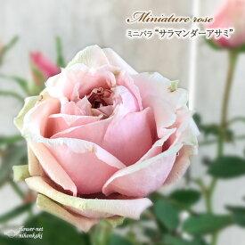 予約販売 ミニバラ サラマンダーアサミ 3号ポット バラ 薔薇 バラ苗 苗 bry 10月下旬以降発送
