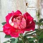 ミニバラシュガー3号ポットバラ薔薇バラ苗苗bry