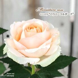 予約販売 ミニバラ ベラミーコルダーナ 3号ポット バラ 薔薇 バラ苗 苗 bry 10月下旬以降発送