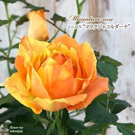 予約販売 ミニバラ マラクジャコルダーナ 3号ポット バラ 薔薇 バラ苗 苗 bry 10月下旬以降発送
