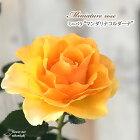 ミニバラマンダリナコルダーナ3号ポットバラ薔薇バラ苗苗bry