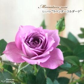 予約販売 ミニバラ ラベンダーコルダーナ 3号ポット バラ 薔薇 バラ苗 苗 bry 10月下旬以降発送