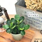 パンダガジュマル9cmポット観葉植物苗インテリアおしゃれガジュマル