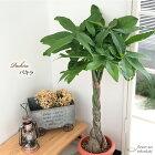 パキラ7号鉢送料無料苗観葉植物インテリアおしゃれ引っ越し祝いギフトお祝い新築祝い