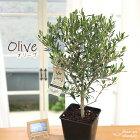 オリーブ鉢植え6号鉢送料無料ギフト贈り物プレゼントシンボルツリー新築祝い