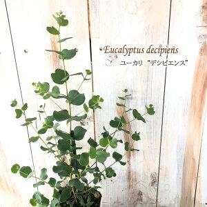 ユーカリ デシピエンス 9cmポット 苗 観葉植物 ハーブ 常緑高木 インテリア おしゃれ Herb