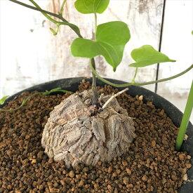 多肉植物 os亀甲竜 キッコウリュウ おもしろ 多肉植物 9cmポット