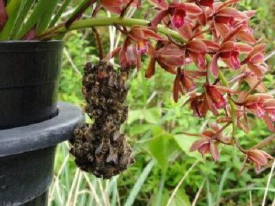 予約販売2月以降発送 キンリョウヘン 金稜辺 日本ミツバチを集めるお花 花芽つき 5号