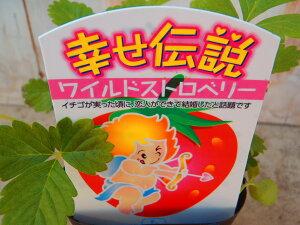 ワイルドストロベリー いちご イチゴ 幸せ伝説 ポット苗