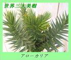 世界三大美樹アローカリア