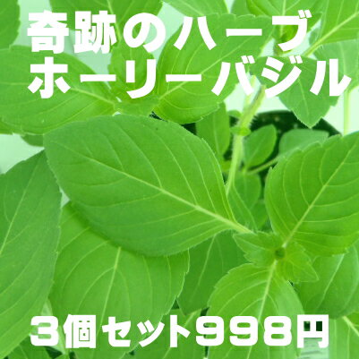奇跡のハーブ ホーリーバジル トゥルシー苗 3個セット 空気浄化 マイナスイオン 新陳代謝 虫よけ