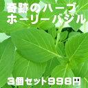 奇跡のハーブ ホーリーバジル トゥルシー苗 3個セット(空気浄化 マイナスイオン 新陳代謝 虫よけ 売れ筋)