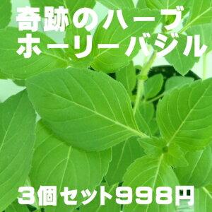 奇跡のハーブ ホーリーバジル トゥルシー苗 3個セット 空気浄化 マイナスイオン 新陳代謝 虫よけ Herb