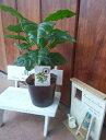 珈琲の木(コーヒーの木・アラビカ種・観葉植物)