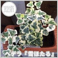 ヘデラ雪ほたる(斑入りヘデラユキホタルカラーリーフ観葉植物ポット苗寄せ植え)