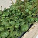 透きとおるような透明感 ペペロミア タートル(観葉植物・9cmポット)