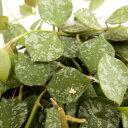 ホヤ・カーティシー 多肉植物