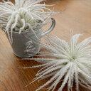エアープランツ テクトラム(チランジア チランドシア 観葉植物)