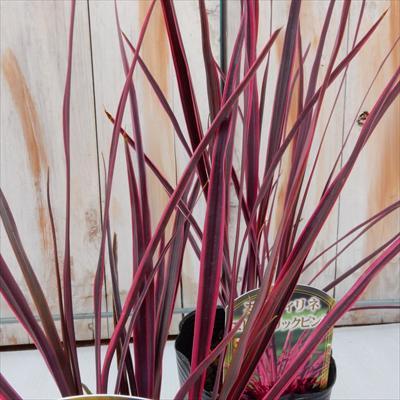 コルジリネ エレクトリックピンク(観葉植物 カラーリーフ 9cmポット)