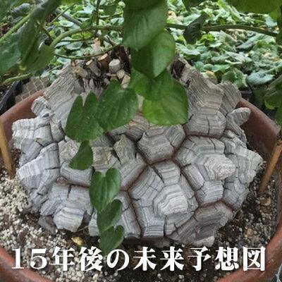 oz 亀甲竜(キッコウリュウ)2.5号