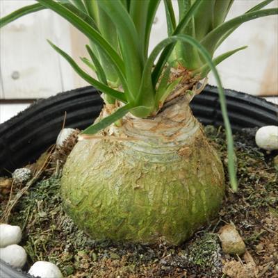 トックリラン(ポニーテール 観葉植物 12cmポット)