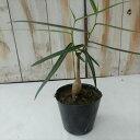 ボトルツリー ブラキキトン ルペストリス(観葉植物 ミニ観葉 9cmポット)