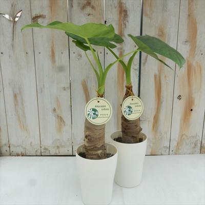 クワズイモ(Alocasia odora サトイモ科アロカシア属 常緑多年草 観葉植物 4号鉢)