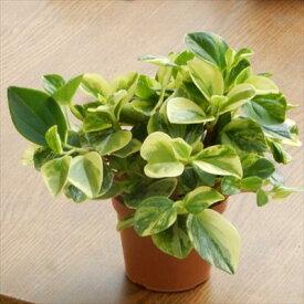 ペペロミア グラベラ(観葉植物 ミニ観葉 3号プラ鉢)