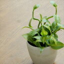 魅惑の甘い誘い バニラ(観葉植物 9cmポット)