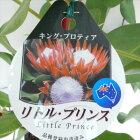 プロテアリトルプリンス(キング・プロティア珍しい花木半耐寒性常緑低木5号鉢)iz