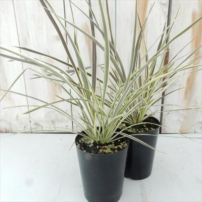 コルジリネ エレクトリック フラッシュ(観葉植物 カラーリーフ 9cmポット)