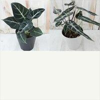 選べるアロカシア観葉植物4号鉢