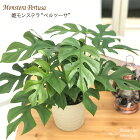 ちょっと不思議な葉っぱ『姫モンステラ(ヒメモンステラ)』観葉植物