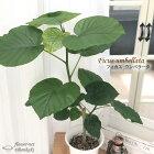 フィカスウンベラータ6号鉢送料無料苗観葉植物インテリア