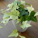 ヘデラ 白雪姫 白い葉っぱが魅力的なヘデラ白雪姫 9cmポット 観葉植物