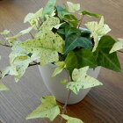 白い葉が魅力的!!ヘデラ白雪姫