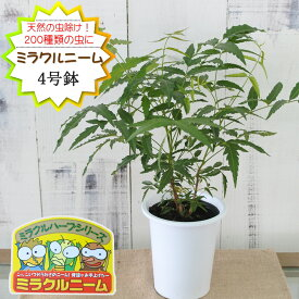 ニーム ミラクルニーム 4号鉢 夏の虫よけ対策 ハーブ 天然植物性農薬
