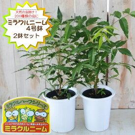 予約販売 ニーム ミラクルニーム 2鉢セット 4号鉢 夏の虫よけ対策 ハーブ 天然植物性農薬 4月中旬以降発送