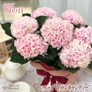 早割 母の日 ギフト アジサイ コットンキャンディ 5号鉢 送料無料 贈り物 プレゼント あじさい 紫陽花 花 鉢植え