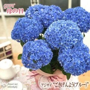 早割 母の日 ギフト アジサイ ごきげんよう ブルー 5号鉢 送料無料 贈り物 プレゼント あじさい 紫陽花 花 鉢植え
